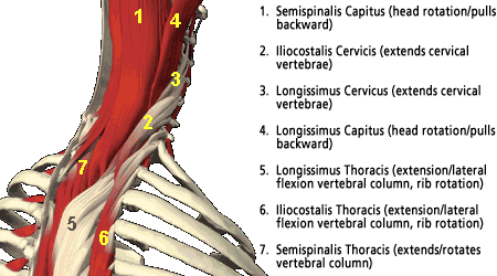 cervical-muscles.png