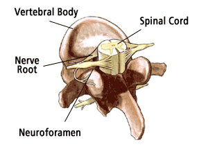 spinal_cord_vertebrae_cross_section_illus012.png